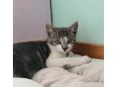 Adopt Gale Hawthorn a Gray or Blue Domestic Shorthair / Mixed cat in Brimfield