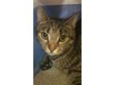 Adopt Everest a Brown Tabby Domestic Shorthair / Mixed (short coat) cat in