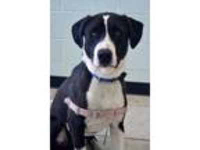 Adopt Lucius a Labrador Retriever / American Staffordshire Terrier / Mixed dog
