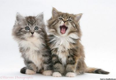 4 Beautiful Maine Coon Kittens For Sale