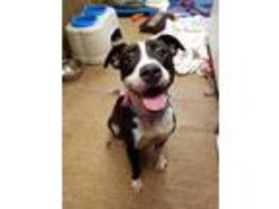 Adopt Tulip a Black - with White American Staffordshire Terrier / Mixed dog in