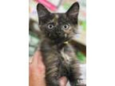 Adopt Sprite a Black (Mostly) Domestic Shorthair / Mixed (short coat) cat in