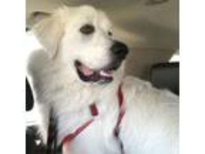 Adopt Henry a Great Pyrenees