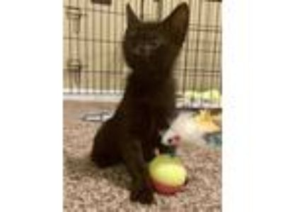 Adopt Tesla a Domestic Shorthair / Mixed cat in Birmingham, AL (25576670)