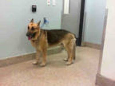 Adopt JASPER a Black - with Tan, Yellow or Fawn German Shepherd Dog / Mixed dog