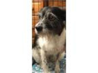 Adopt NESSA a White - with Black Terrier (Unknown Type, Medium) / Mixed dog in