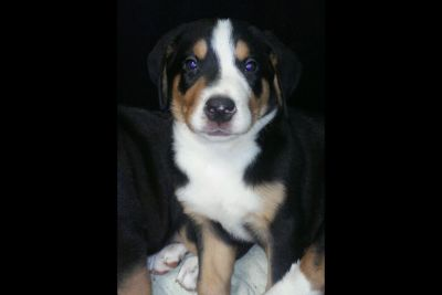 Greater Swiss Mountain Dog Puppies