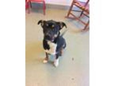 Adopt a Tricolor (Tan/Brown & Black & White) English Shepherd / Mixed dog in
