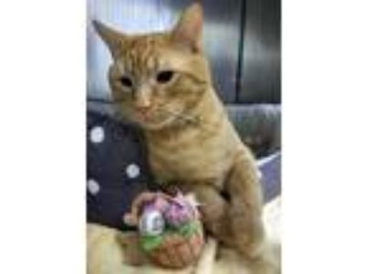 Adopt Bubba a Orange or Red Domestic Shorthair / Mixed (short coat) cat in