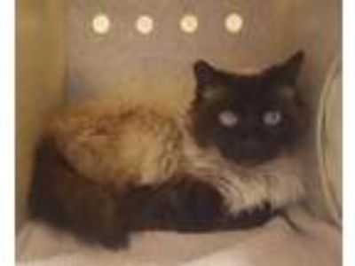 Adopt Feral Coco a Cream or Ivory Siamese / Domestic Mediumhair / Mixed cat in