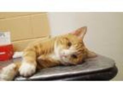 Adopt Albert a Orange or Red Tabby Domestic Shorthair (short coat) cat in