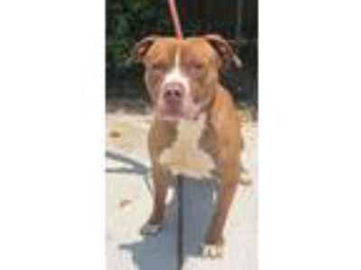 Adopt Dalton a Brown/Chocolate American Staffordshire Terrier / Mixed dog in