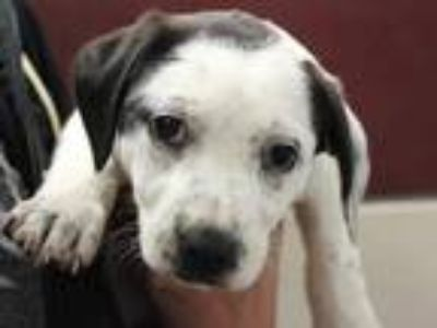 Adopt FRECKLES a Black - with White American Pit Bull Terrier / Australian