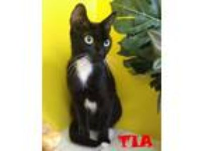 Adopt TIA a Domestic Short Hair