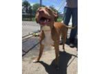 Adopt Sky a Pit Bull Terrier, Mixed Breed