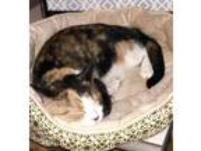 Adopt Pumpkin a Calico or Dilute Calico American Shorthair cat in Jonesboro