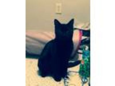 Adopt Oliver a All Black Domestic Shorthair / Mixed cat in North Chesterfield
