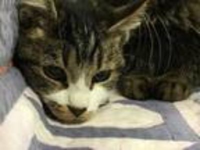 Adopt Molly a Domestic Short Hair