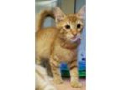 Adopt Derek a Domestic Short Hair