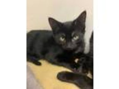 Adopt Bryce a All Black Domestic Shorthair / Domestic Shorthair / Mixed cat in
