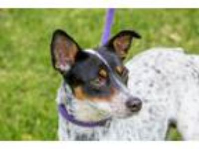 Adopt Breccia a Australian Cattle Dog / Blue Heeler, Rat Terrier