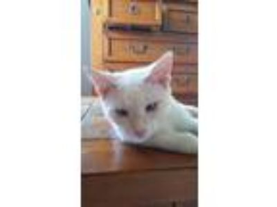 Adopt Eeyore a White (Mostly) Domestic Longhair / Mixed cat in Lake Wales
