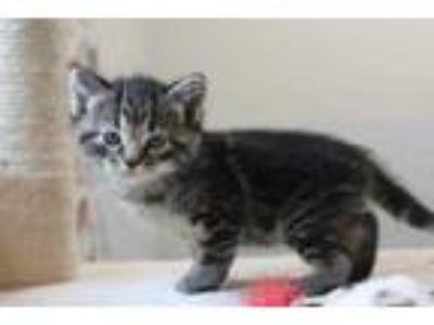 Adopt male bengal tabby a Gray or Blue Domestic Shorthair / Domestic Shorthair /