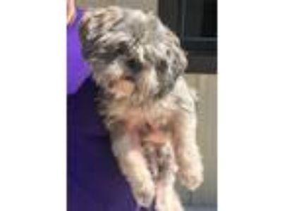Adopt Lucky a Lhasa Apso, Mixed Breed