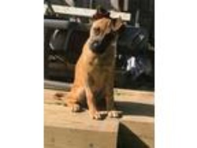 Adopt Leelah a Black Mouth Cur