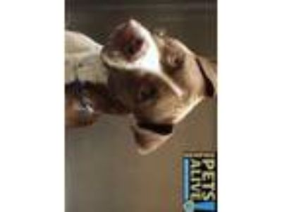 Adopt RIVER a Brown/Chocolate - with White Mixed Breed (Medium) / Mixed dog in