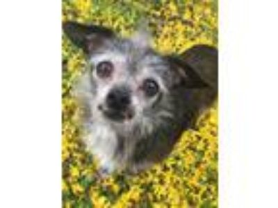 Adopt Zeke a Black - with Gray or Silver Terrier (Unknown Type