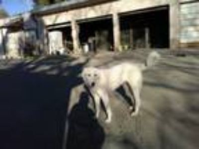 Adopt MARS a Great Pyrenees