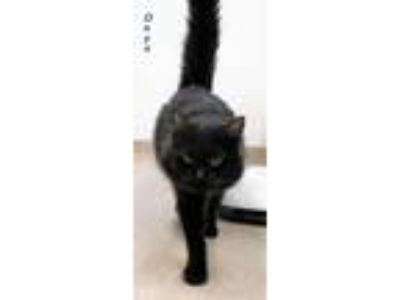 Adopt Onyx a All Black Domestic Mediumhair / Domestic Shorthair / Mixed cat in