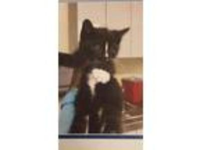 Adopt Louise a Domestic Mediumhair / Mixed (short coat) cat in Hemet