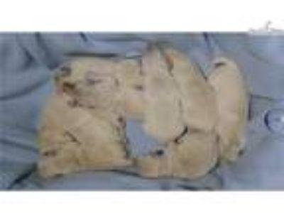 Purebred English Cream Golden retriever puppy