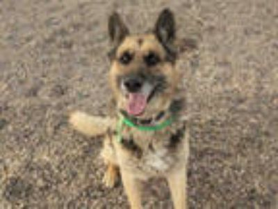 Adopt KAISER a Tan/Yellow/Fawn - with Black German Shepherd Dog / Mixed dog in