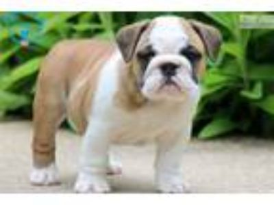 Paisley - English Bulldog Female