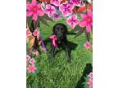 Adopt Raven a Black Labrador Retriever, Labrador Retriever