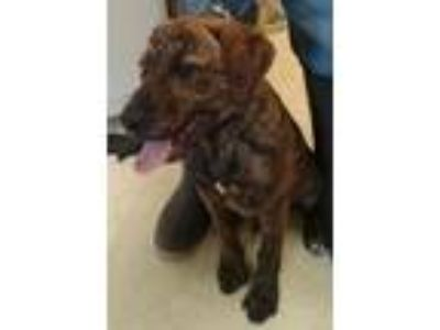 Adopt Al a Pit Bull Terrier / Labrador Retriever / Mixed dog in Albany