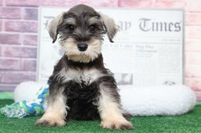 Schnauzer (Miniature) PUPPY FOR SALE ADN-95901 - Murphy Affectionate Male Miniature Schnauzer Puppy