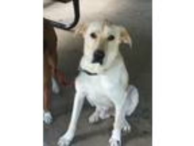 Adopt Dane a Tan/Yellow/Fawn Labrador Retriever / Great Dane / Mixed dog in