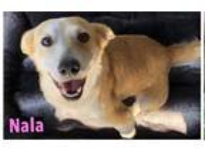 Adopt Nala a Basset Hound / Golden Retriever dog in San Diego, CA (25871674)