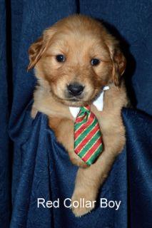 Golden Retriever PUPPY FOR SALE ADN-104507 - AKC Golden Retriever Puppies
