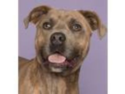 Adopt Alvin a American Staffordshire Terrier, Pit Bull Terrier
