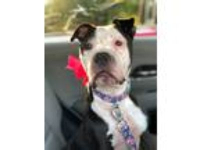 Adopt Roxie a Pit Bull Terrier