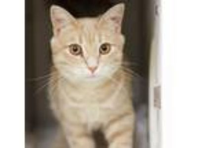 Adopt Winston a Tan or Fawn Domestic Shorthair / Domestic Shorthair / Mixed cat