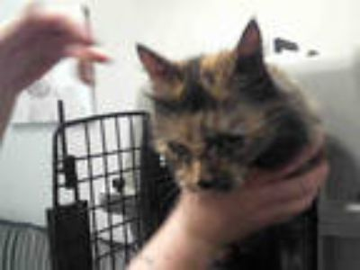 Adopt OATMEAL a Tortoiseshell Domestic Shorthair / Mixed (short coat) cat in