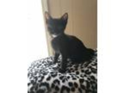 Adopt Kitten - Girl a Tortoiseshell American Shorthair / Mixed cat in Grand Bay