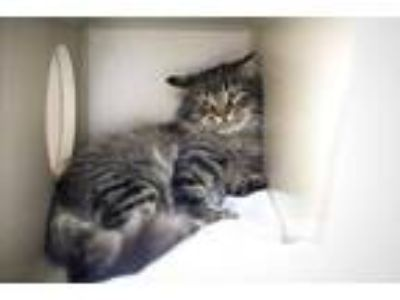 Adopt Speck a Gray or Blue Domestic Longhair / Domestic Shorthair / Mixed cat in
