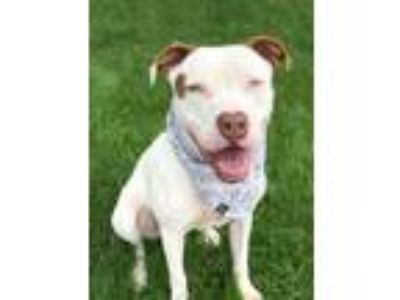 Adopt Ryder a Pit Bull Terrier